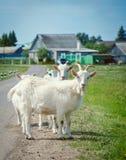 Le capre bianche sono sulla strada Fotografia Stock Libera da Diritti