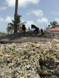 Le capre fanno un spuntino sulle spiagge di corallo di Zanzibar Fotografia Stock Libera da Diritti