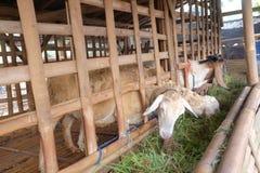 Le capre mangiano l'erba nella gabbia fotografia stock