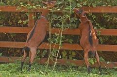 Le capre mangieranno qualche cosa Immagini Stock