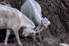 Le capre pascono la montagna di lotta Fotografie Stock Libere da Diritti