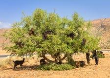 Le capre pascono negli alberi dell'argania spinosa fotografia stock libera da diritti