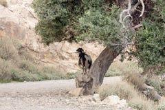 Le capre pascono nelle montagne Immagine Stock