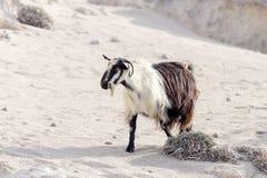 Le capre pascono nelle montagne Fotografie Stock