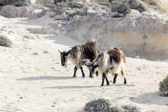 Le capre pascono nelle montagne Fotografia Stock Libera da Diritti