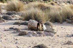 Le capre pascono nelle montagne Immagini Stock Libere da Diritti