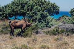 Le capre pascono su un prato della montagna al tramonto della Grecia Capre sulla montagna di fronte al mare Immagini Stock Libere da Diritti