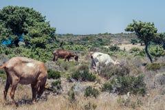 Le capre pascono su un prato della montagna al tramonto della Grecia Capre sulla montagna di fronte al mare Immagini Stock