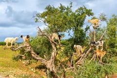 Le capre pascono in un albero dell'argania spinosa - Marocco Immagine Stock
