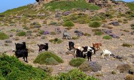 Le capre selvatiche pascono Fotografia Stock