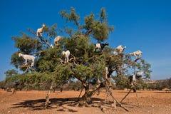 Le capre sentite parlare hanno scalato su un albero dell'argania spinosa su un modo a Essaouira, Marocco Fotografia Stock Libera da Diritti