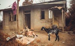 Le capre si avvicinano alla casa di campagna nel villaggio di Kathmandu nel Nepal Fotografia Stock Libera da Diritti