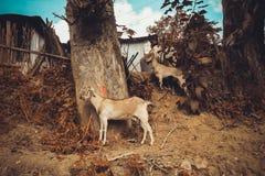 Le capre si avvicinano alla casa di campagna nel villaggio di Kathmandu nel Nepal Immagine Stock