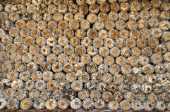 Le capuchon de sciure de la ferme de champignon de couche Photos stock