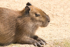 Le Capybara (hydrochaeris de Hydrochoerus) est le plus grand rongeur en Th Images libres de droits