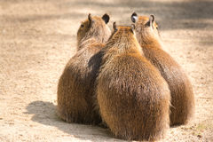 Le Capybara (hydrochaeris de Hydrochoerus) est le plus grand rongeur en Th Photo stock