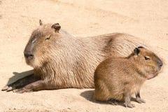 Le Capybara (hydrochaeris de Hydrochoerus) est le plus grand rongeur en Th Image stock