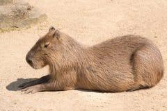 Le Capybara (hydrochaeris de Hydrochoerus) est le plus grand rongeur en Th Images stock