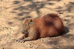 Le Capybara, le voient dans le zoo de KHON KAEN images stock