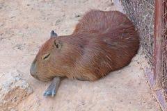Le Capybara, le voient dans le zoo de KHON KAEN images libres de droits