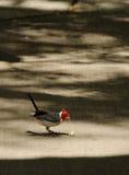 Le cardinal à crête rouge photographie stock libre de droits