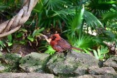 Le cardinal du nord Images libres de droits