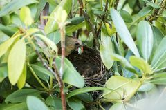 Le cardinal féminin aux oiseaux nichent avec la nourriture dans son bec Photographie stock