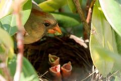 Le cardinal féminin lui alimente des bébés dans le nid Photographie stock libre de droits
