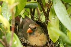 Le cardinal féminin s'assied sur ses bébés nouveau-nés dans le nid Photographie stock libre de droits