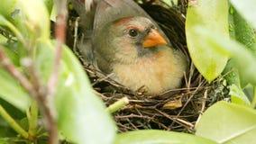 Le cardinal féminin s'assied sur ses bébés nouveau-nés dans le nid Images libres de droits