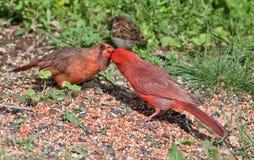 Le cardinal mâle alimente un cardinal de femelle Photo stock