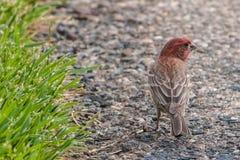 Le cardinal masculin se tient sur le trottoir rocheux recherchant la nourriture Photos libres de droits