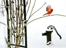 Le cardinal rouge avec des ailes a écarté sur une vieille pompe à eau de fer Photos stock