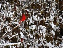 Le cardinal rouge intelligent était perché sur une branche couverte de la neige images libres de droits