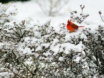 Le cardinal rouge s'assied sur un buisson neigeux Photos libres de droits