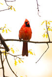 Le cardinal sauvage était perché sur le branchement images stock