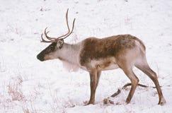 Le caribou solitaire dans la neige a couvert le pré Photos stock