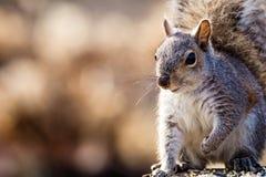 Le carolinensis oriental de Gray Squirrel Sciurus semble heureux et mignon dans la belle lumière d'après-midi, pièce pour la copi Images libres de droits