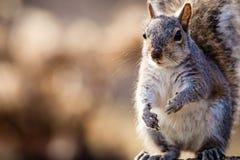 Le carolinensis oriental de Gray Squirrel Sciurus semble heureux et mignon dans la belle lumière d'après-midi, pièce pour la copi Photographie stock libre de droits
