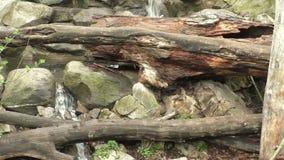 Le cascate precipita a cascata giù attraverso gli alberi caduti e le rocce coperte muschio stock footage