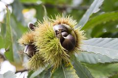 Le castanea ouvert sativa, châtaignes douces cachées dans les cupules épineux, marron nuts brunâtre savoureux porte des fruits image libre de droits