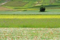 le castelluccio fleurit des côtes Images libres de droits