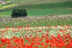 le castelluccio fleurit des côtes Image libre de droits