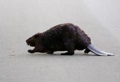 Le castor nord-américain va à travers la route Image libre de droits