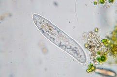 Le caudatum de paramécie est un genre de protozoan ciliated unicellulaire Image libre de droits