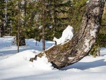 Le cavalier de neige se tapit sur un tronc incurvé de bouleau dans une forêt d'hiver dans les montagnes d'Altai, Russie images libres de droits