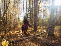 Le cavalier sur le cheval rouge prépare pour sauter par-dessus un obstacle image stock