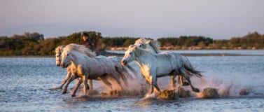 Le cavalier sur le cheval de Camargue galope par le marais Photographie stock libre de droits