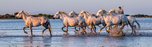 Le cavalier sur le cheval de Camargue galope par le marais Images stock