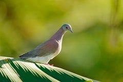 Le cayennensis de Patagioenas, Pâle-a exhalé le pigeon, oiseau d'Arnos Vale, Trinidad-et-Tobago Pigeon se reposant sur le congé v photographie stock libre de droits